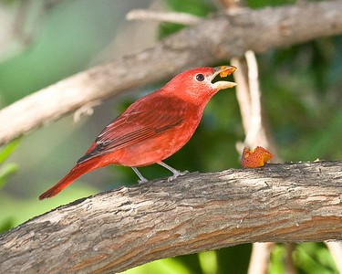 Summer Tanager - Male - Balboa Park.  A wintering bird.  Not rare in winter.