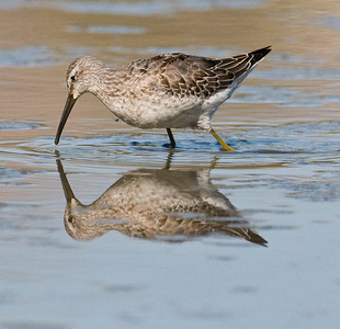Stilt Sandpiper Lindo lake