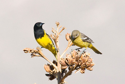 Scott's Oriole - male & female ~ Anza-Borrego 2009
