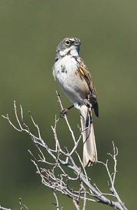 Sage Sparrow La Posta 2008