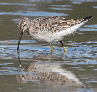 Stilt Sandpiper ~ Lindo Lake 2009