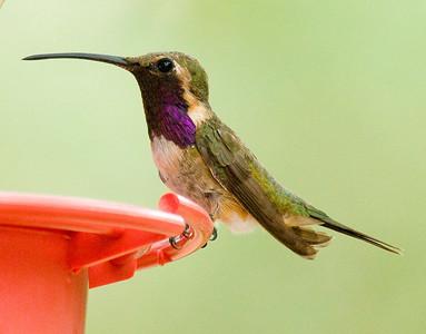 Lucifer Humingbird ~ SE Arizona August 2009