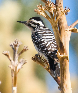 Ladder-backed Woodpecker Little Blair Valley April 2009