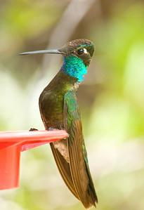 Magnificent Hummingbird ~ SE Arizona August 2009