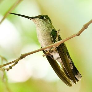 Magnificent Hummingbird - SE Arizona