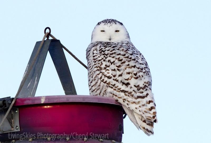 Snowy Owl on top of a grain bin
