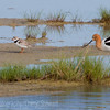 Endangered Piping Plover and an American Avocet