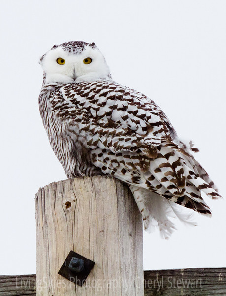 Snowy Owl gives me a look from atop a power pole along the Trans Canada Hwy.