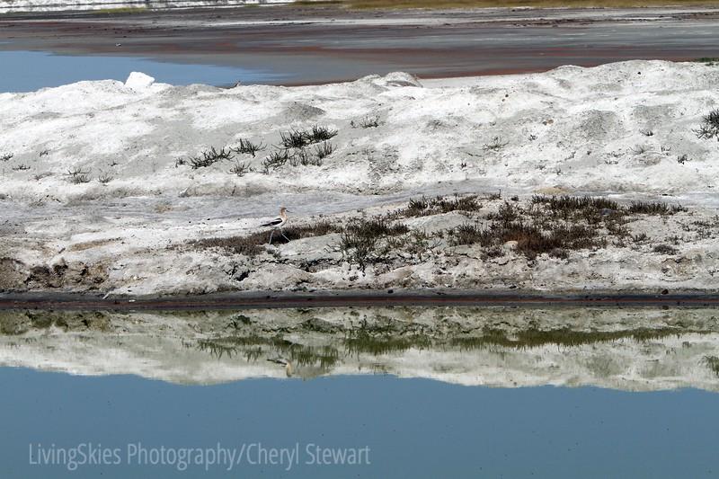 "American Avocet in the ""lake"" outside the Sodium mine, Chaplin Sk"