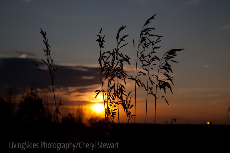 tall grass in the sunset, Sask