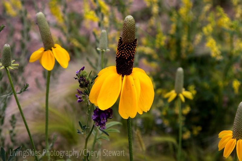 Wild Cone Flowers, along the roadside