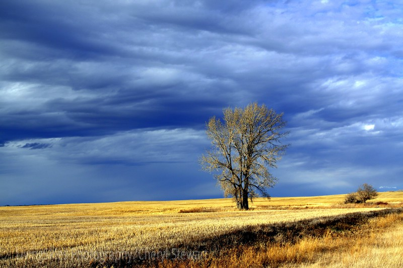 Rural Sask, storm skies move in over a lone tree late afternoon....Land of Living Skies