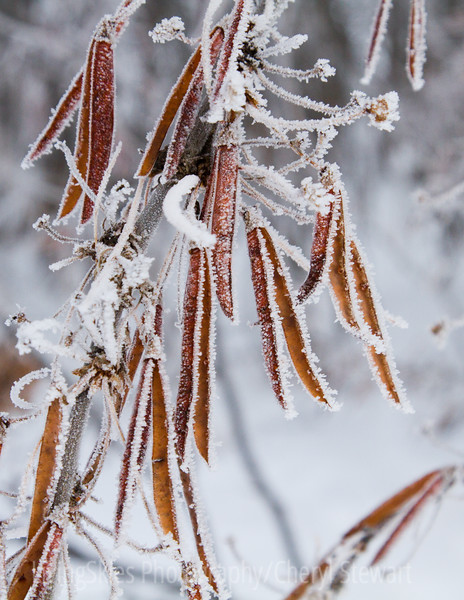 Frost on seed pods