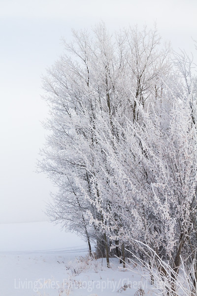 frosty trees in fog, Duck Mountain Provincial Park