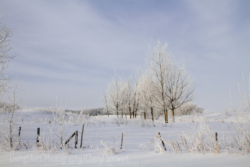 Frosty fence & trees
