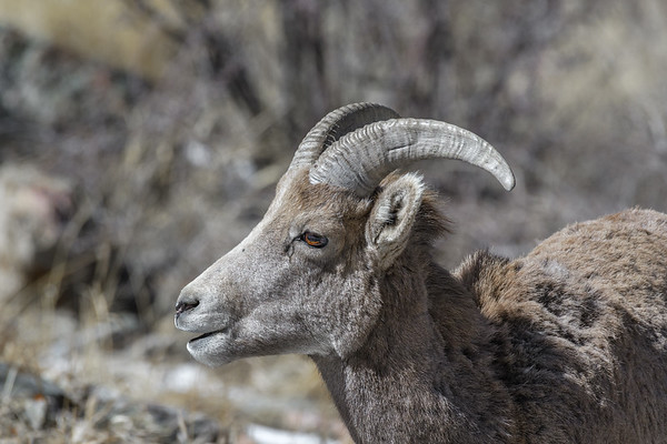 Female bighorn sheep in winter