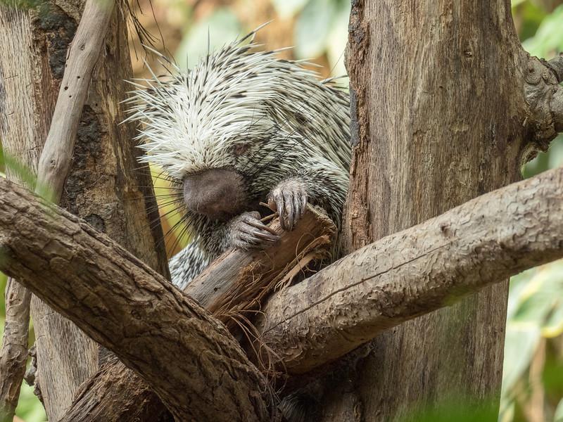 Porcupine - Evansville Zoo