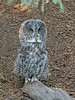 Great Grey Owl