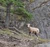 Bighorn Sheep (lamb)