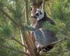 Lemur - Calgary Zoo