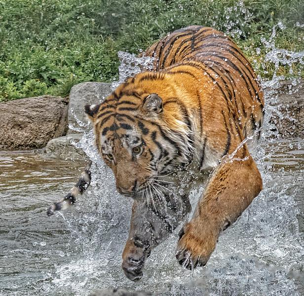 Amur Tiger - Winnipeg Zoo
