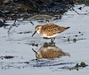 Dunlin (Breeding Adult)