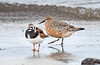 Ruddy Turnstone & Red Knot