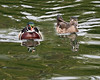 Wood Duck (male & female)