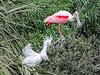 Rosette Spoonbill & Snowy Egret