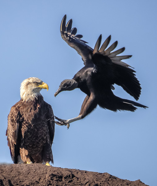 Bald Eagle &  Black Vulture