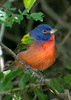 Painted Bunting(Male)
