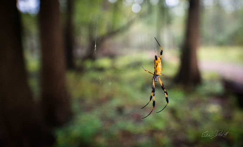Golden Silk Spider_Cat Island_Louisiana_photo by Gabe DeWitt_November 05, 2014-101