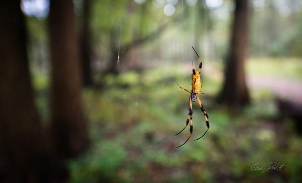 Golden Silk Spider_Cat Island_Louisiana_photo by Gabe DeWitt_November 05, 2014-101