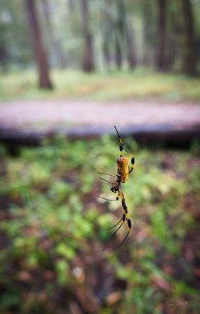 Golden Silk Spider_Cat Island_Louisiana_photo by Gabe DeWitt_November 05, 2014-96-2