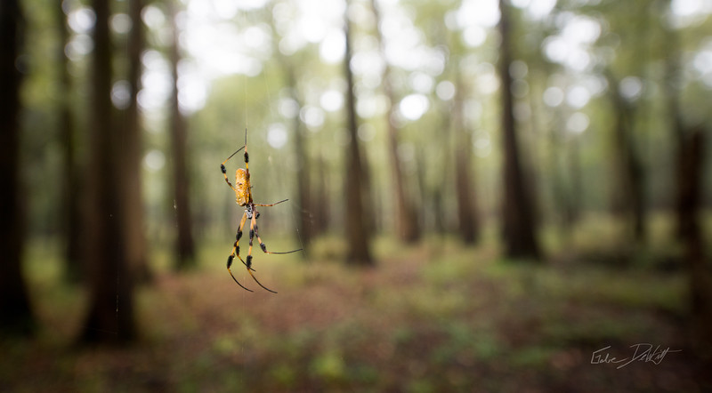 Golden Silk Spider_Cat Island_Louisiana_photo by Gabe DeWitt_November 05, 2014-110