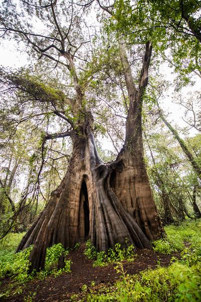 Cypress Trees_Cat Island_Louisiana_photo by Gabe DeWitt_November 05, 2014-86