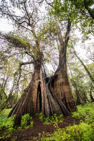 Cypress Trees_Cat Island_Louisiana_photo by Gabe DeWitt_November 05, 2014-86