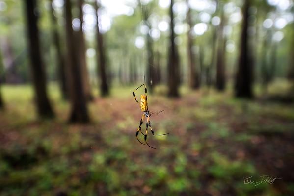 Golden Silk Spider_Cat Island_Louisiana_photo by Gabe DeWitt_November 05, 2014-104