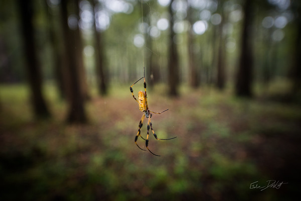 Golden Silk Spider_Cat Island_Louisiana_photo by Gabe DeWitt_November 05, 2014-106