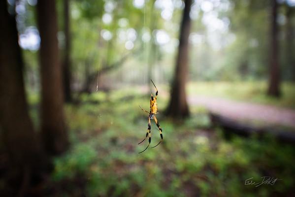 Golden Silk Spider_Cat Island_Louisiana_photo by Gabe DeWitt_November 05, 2014-100