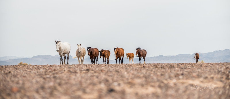 Feral Horses in Nevada