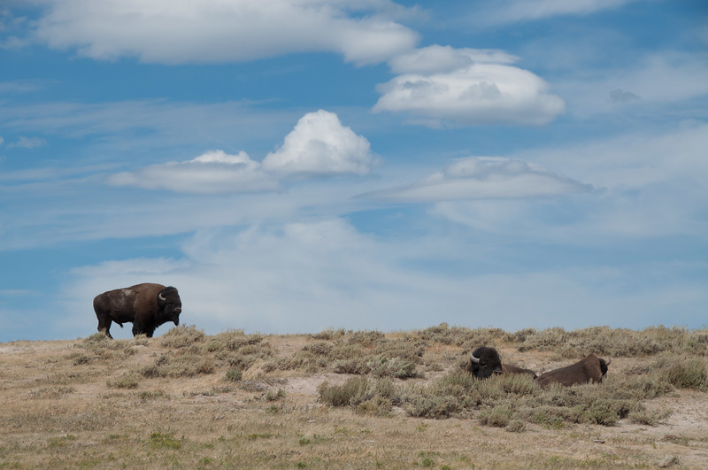 Wyoming - Bison of Yellowstone National Park