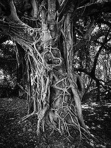 Banyan, Fort Lauderdale, FL