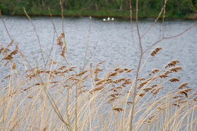 Reeds on lake, Hampstead Heath