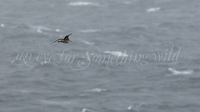 Long-tailed Jaeger  (Canada)