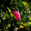 pom-pom flower