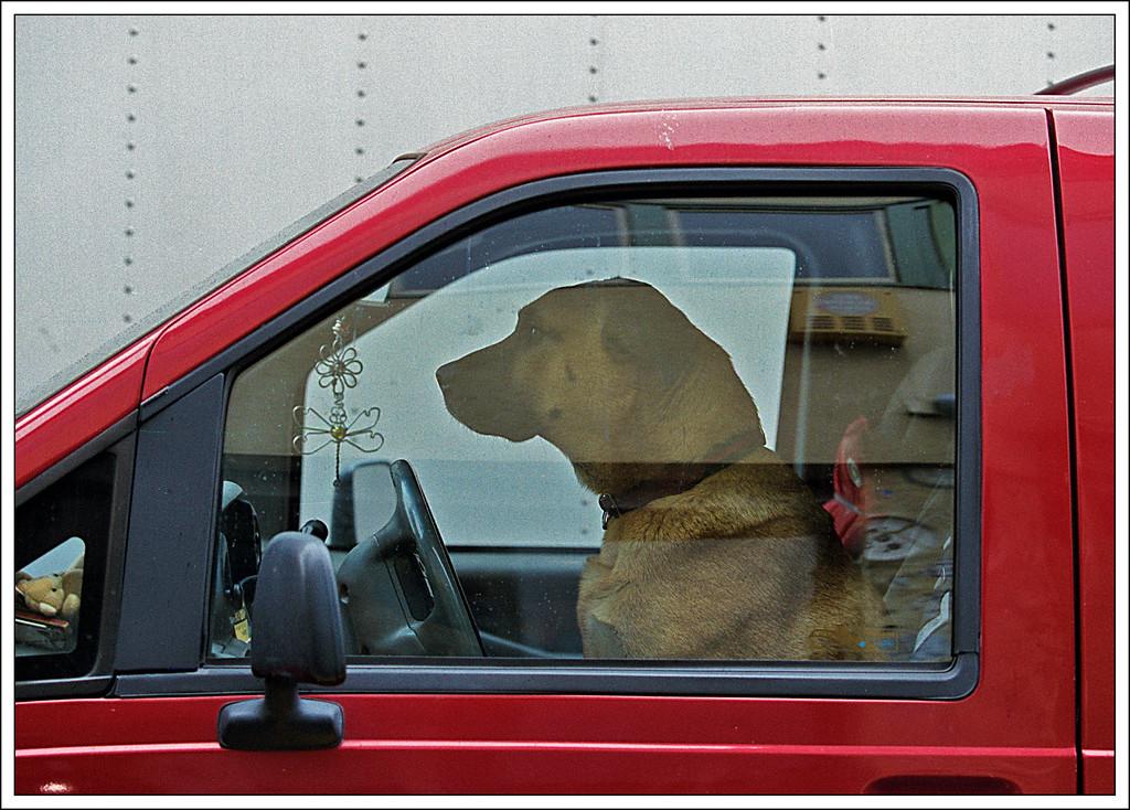 Dog driving-13 1