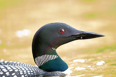 #1250 Common Loon