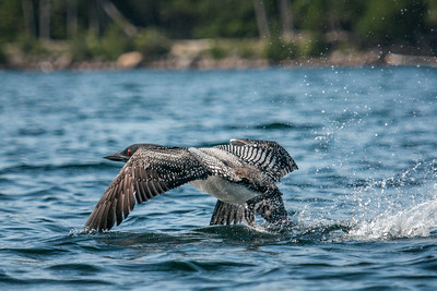 Loon Takes to Flight