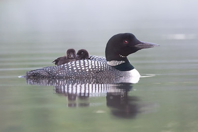 #1463 Common Loon and Chicks